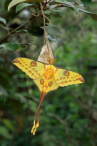 Madagascar moon / Comet tail moth (Argema mittrei) male newly emerged from cocoon, Madagascar  -  Patricio Robles Gil