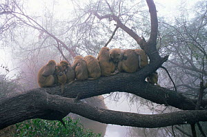 Rhesus macaques {Macaca mulatta} huddled on branch for warmth at dawn, Keoladeo Ghana NP, Rajasthan, India  -  Jean-Pierre Zwaenepoel