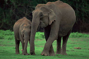 Indian elephant {Elephas maximus} mother and young, Nagarhole NP, Karnataka, India  -  Jean-Pierre Zwaenepoel