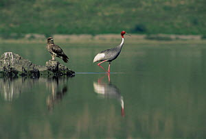 Sarus crane {Grus antigone} and immature Pallas fish eagle {Haliaeetus leucoryphus}, North India  -  Jean-Pierre Zwaenepoel
