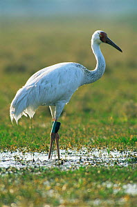 Great white / Siberian crane {Grus leucogeranus} endangered, captive reared and released with radio transmitter, Keoladeo Ghana NP, Bharatpur, Rajasthan, India, 1999  -  Jean-Pierre Zwaenepoel