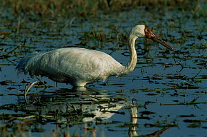Great white / Siberian crane feeding in wetland {Grus leucogeranus} endangered, captive reared and released, Keoladeo Ghana NP, Bharatpur, Rajasthan, India, 1999  -  Jean-Pierre Zwaenepoel