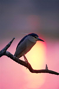 Black crowned night heron {Nycticorax nycticorax} sunset, Keoladeo Ghana NP, Bharatpur, Rajasthan, India  -  Jean-Pierre Zwaenepoel