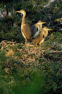 Grey Heron {Ardea cinerea} fledglings in nest, Keoladeo Ghana NP, Bharatpur, Rajasthan, India  -  Jean-Pierre Zwaenepoel