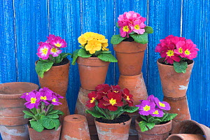 Primulas and Polyanthus planted in decorative buckets with terracotta pots in greenhouse potting shed scene, UK.  -  Gary K. Smith
