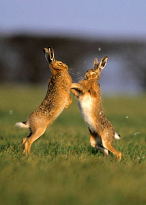Brown hares {Lepus europaeus} boxing in spring, fur flying, Norfolk UK. European hare are the middleweight boxing champions of the animal world!  -  Gary K. Smith