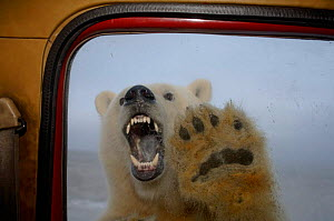 Polar bear {Ursus maritimus} baring teeth at truck window, seen from inside vehicle, Coastal plain of the Arctic National Wildlife Refuge, Alaska. - Steven Kazlowski