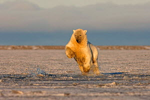 Polar bear {Ursus maritimus} jumping into slushy pack ice to retrieve a piece of meat, Coastal plain of the Arctic National Wildlife Refuge, Alaska. - Steven Kazlowski