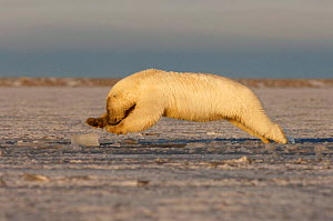 Profile of Polar bear {Ursus maritimus} jumping into slushy pack ice to retrieve a piece of meat, Coastal plain of the Arctic National Wildlife Refuge, Alaska - Steven Kazlowski