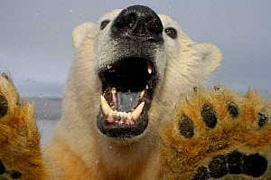 Polar bear {Ursus maritimus} at truck window, mouth open Coastal plain of the Arctic National Wildlife Refuge, Alaska. Note black tongue - Steven Kazlowski