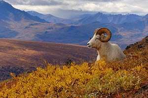Dall sheep male resting {Ovis Dalli} Denali National Park, Alaska, USA. - Steven Kazlowski