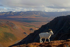 Dall sheep {Ovis Dalli}female profile walking on hillside, Denali National Park, Alaska, USA.  -  Steven Kazlowski