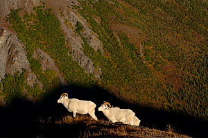 Dall sheep {Ovis Dalli} walking on hillside, Denali National Park, Alaska, USA.  -  Steven Kazlowski