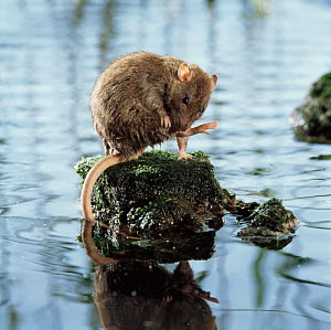 Brown rat (Rattus norvegicus) grooming on rock surrounded by water. Captive, UK - Kim Taylor