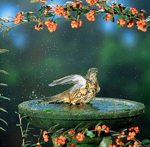 Mistle thrush (Turdus viscivorus) bathing in garden birdbath. Europe  -  Kim Taylor