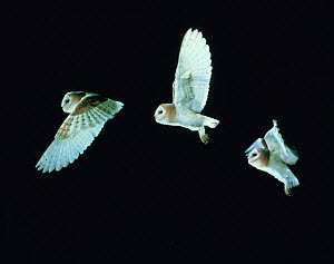 RF- Barn Owl (Tyto alba) in flight. Time-lapse. Captive, UK. (This image may be licensed either as rights managed or royalty free.)  -  Kim Taylor