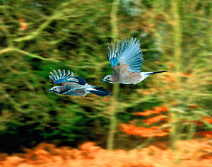 Jay (Garrulus glandarius) pair in flight. (digitally enhanced). UK  -  Kim Taylor
