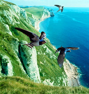 Barn swallow (Hirundo rustica) group over the cliffs of southern England (digitally enhanced)  -  Kim Taylor