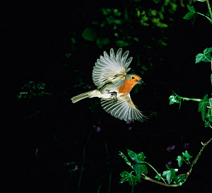 European robin (Erithacus rubecula) bringing food to its nest. UK - Kim Taylor