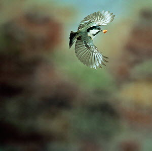 Coal tit (Periparus ater) in flight with beechmast. UK  -  Kim Taylor