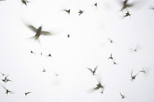 RF- Arctic Terns (Sterna paradisaea) flying against white sky.  Isle Of May, Scotland, UK. (This image may be licensed either as rights managed or royalty free.)  -  Peter Cairns