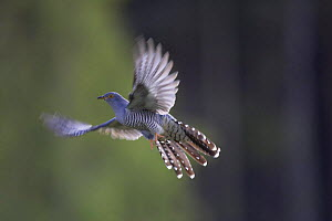 Cuckoo (Cuculus canorus) male flying, Cairngorms NP, Scotland, UK.  -  Pete Cairns