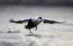 Common Eider duck (Somateria mollissima) male taking off from water, Nord-Trondelag, Norway  -  Pete Cairns