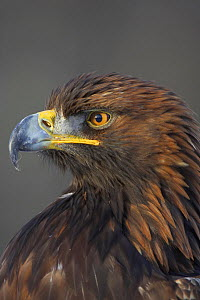 RF- Golden Eagle (Aquila chrysaetos) adult portrait. Captive, Cairngorms National Park, Scotland, UK. (This image may be licensed either as rights managed or royalty free.)  -  Peter Cairns