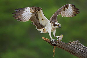 Osprey (Pandion haliaetus) male landing with fish prey, Cairngorms NP, Scotland, UK. - Pete Cairns
