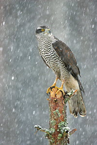 RF- Northern Goshawk (Accipiter gentilis) in blizzard in pine forest. Cairngorms National Park, Scotland, UK. (This image may be licensed either as rights managed or royalty free.)  -  Peter Cairns