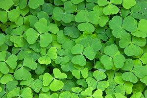 Wood sorrel leaves (Oxalis acetosella), Scotland, UK. - Peter Cairns