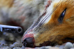 Dead Red fox {Vulpes vulpes} shot with rifle. Scotland, UK.  -  Pete Cairns