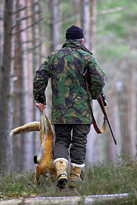 Gamekeeper walking through forest carrying dead Red fox {Vulpes vulpes} that he has shot, Highlands, Scotland, UK. Model released.  -  Pete Cairns