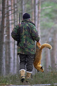 Gamekeeper carrying dead Red fox {Vulpes vulpes} that he has shot out of forest, Cairngorms NP, Scotland, UK Model released.  -  Pete Cairns