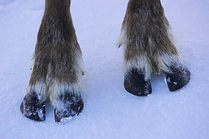 Close up of feet of Reindeer (Rangifer tarandus), Cairngorms NP, Scotland, UK. Captive  -  Pete Cairns