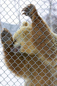 European brown bear (Ursos arctos) in captivity standing up against cage wire. Nord-Trondelag, Norway.  -  Pete Cairns