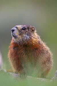 Yellow-bellied marmot (Marmota Flaviventris) peering out from rocks Yellowstone National Park, Wyoming, USA  -  Pete Cairns