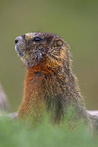 Yellow-bellied marmot (Marmota Flaviventris) Yellowstone National Park, Wyoming, USA  -  Pete Cairns