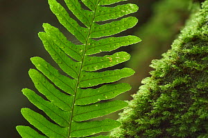 Frond of Common polypody fern {Polypodium vulgare} showing spores on underside, Belgium  -  Philippe Clement