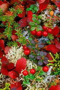 Cowberries {Vaccinium vitis-idaea} and Red alpine bearberry leaves {Arctostaphylos rubra} among Reindeer lichen, Denali NP, Alaska, USA.  -  Philippe Clement