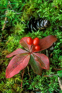 Bunchberry / Dwarf dogwood fruit and leaves in autumn {Cornus canadensis} Denali NP, Alaska, USA. - Philippe Clement