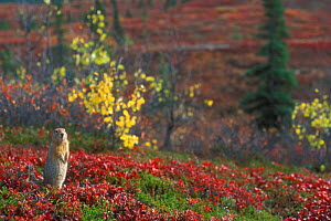 Arctic / Parry's ground squirrel {Spermophilus parryii} on tundra in autumn. Denali NP, Alaska, USA - Philippe Clement