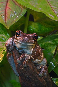 Amazonian milk frog / Milky frog {Phrynohyas resinifictrix} captive, South America  -  Philippe Clement