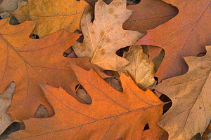 Fallen Northern red oak leaves {Quercus rubra} on  forest floor in autumn, Belgium  -  Philippe Clement