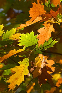 Northern red oak leaves {Quercus rubra} in autumn, Belgium  -  Philippe Clement