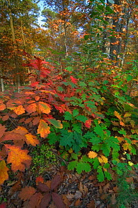 Northern red oak trees {Quercus rubra} leaves changing colour in autumn, Belgium  -  Philippe Clement