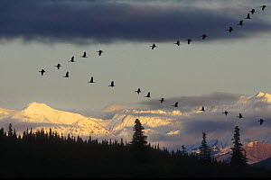 Sandhill cranes {Grus canadensis} flying in formation during migration over Denali NP, Alaska, USA.  -  Philippe Clement