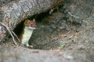 Stoat emerging from burrow {Mustela erminea} Denali NP, Alaska, USA.  -  Philippe Clement