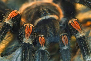 Close up of legs of Mexican red-knee tarantula {Brachypelma smithi} captive, central america  -  Philippe Clement