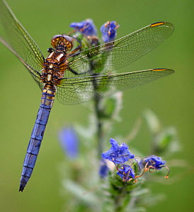 Keeled skimmer dragonfly {Orthetrum coerulescens} close-up perching on meadow plant, Spain.  -  Jose B. Ruiz
